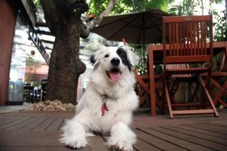 O restaurante Ecully (SP) oferece água aos cãezinhos. Na foto, o Chico, mascote dos chefs Guilherme Tse Candido e Juliana Amorim (foto: divulgação)