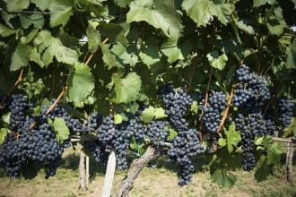 A carignan ganhou  destaque como uma das grandes uvas do Priorato espanhol. E projetos no Chile buscam valorizá-la (divulgação/iStock)