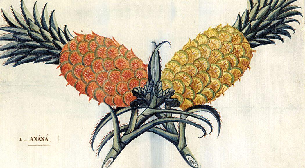 """Ilustração de autor desconhecido, pertencente  ao conjunto de desenhos """"Frutos tropicais"""" (1780)"""