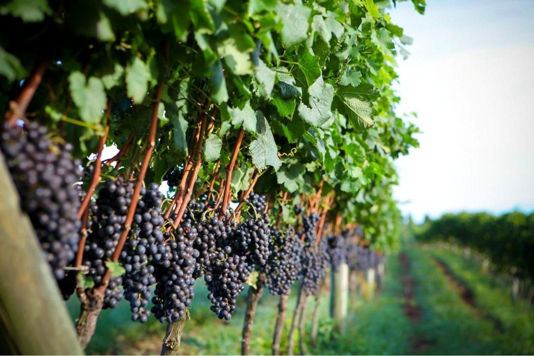 Os vinhedos gaúchos, que sofreram com o fenômeno do El Niño nesse ano (foto: divulgação/ Ibravin)