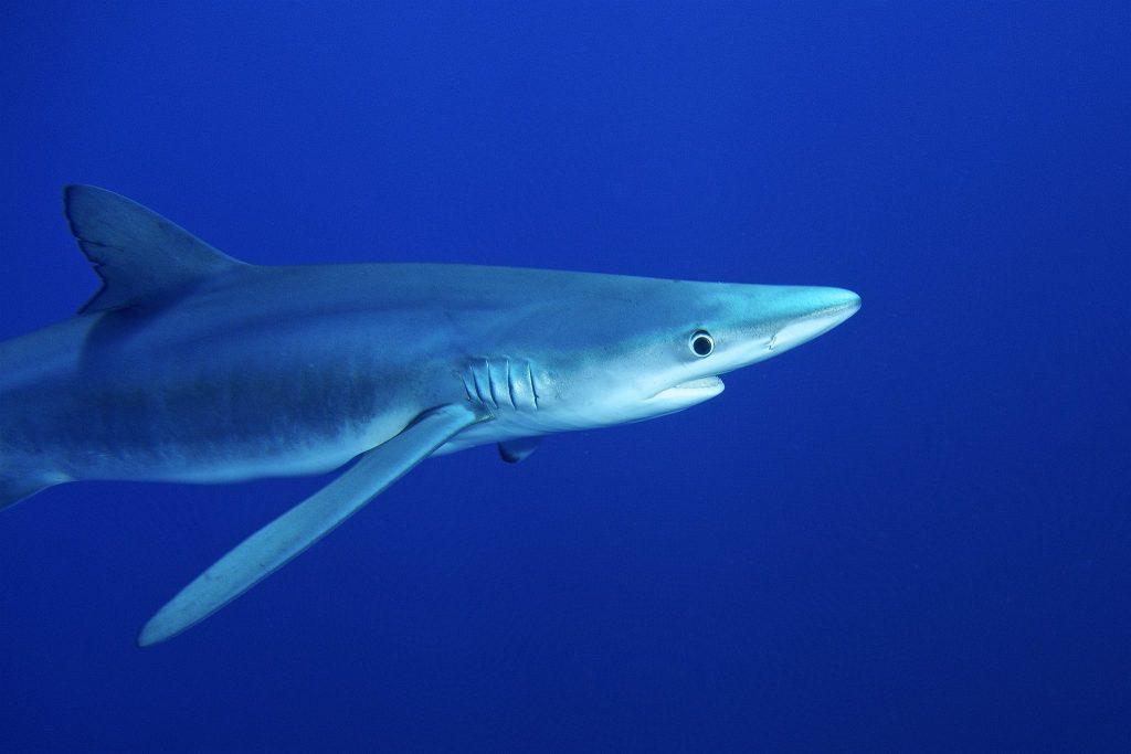 Exibição e preparo de tubarão-azul causa polêmica em festival na Inglaterra